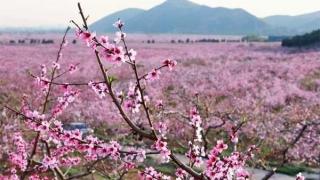 平谷桃花盛开倒计时——预计4月5日