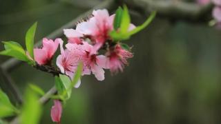 平谷桃花节观赏时间地点及节目
