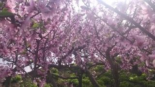 2016年平谷桃花节预计4月12日进入赏花期